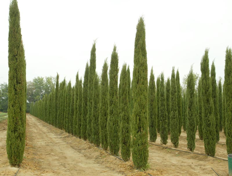 Beautiful Cupressus Sempervirens Totem Pictures - Joshkrajcik.us ...